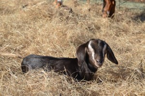 Nubian Doeling  photo by 10 year old Lane
